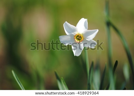 Spring blooming daffodil - stock photo