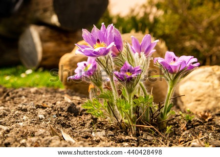 Spring blooming flower - pasqueflower, grow in garden - stock photo