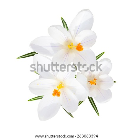 Spring blooming fragile crocus white sunlight flowers with leafs top view isolated - stock photo