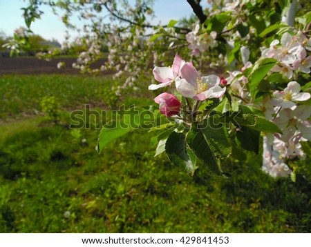 Spring Blooming Gardens Trees Appear Buds Stock Photo (Royalty Free ...