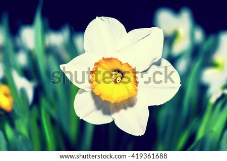 Spring blooming narcissuses, toned, selective focus. Narcissus flower yellow, white. Narcissus L. Daffodils white yellow. - stock photo