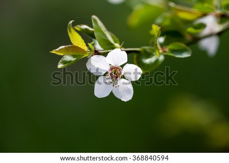 Spring blooming on sour cherry tree branches - stock photo