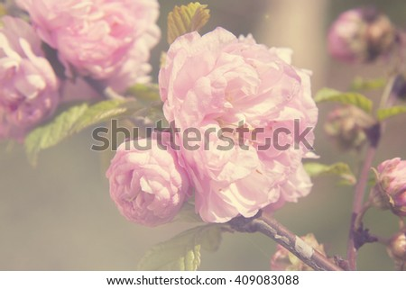 Spring blooming pink roses blossoms tree, vintage filtered, selective soft focus, beautiful fine art photo style - stock photo
