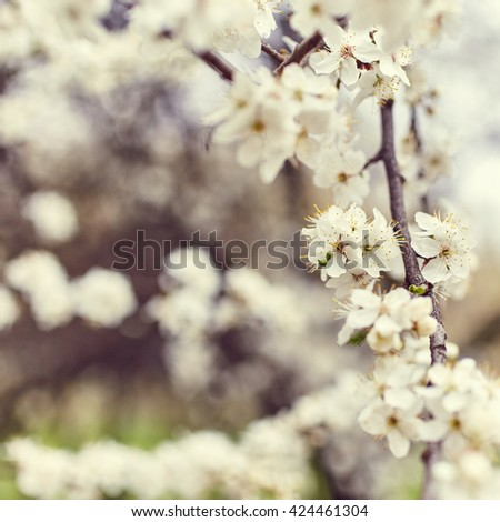 Spring blooming tree. Beautiful flowers close up. Nature background - stock photo