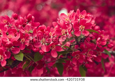 Spring blooming tree. Beautiful pink flowers close up. Nature background - stock photo
