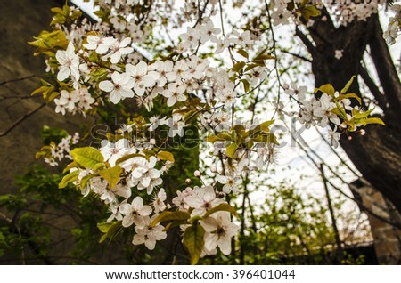 Spring blooming tree plum  with gentle leaves on the background of overcast sky  - stock photo