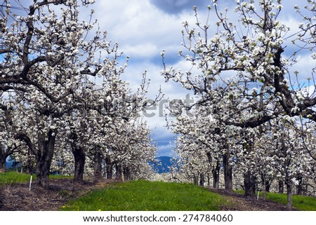Spring blooming white flowers fruit orchard with rows of trees and green grass between the rows of planted seedlings with a background of the blue cloudy sky. - stock photo