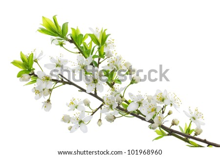Spring blooming wild plum branch with white flowers  isolated. Selective focus