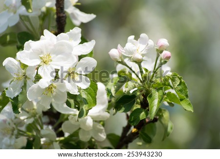 spring blossom of apple tree with white flowers - stock photo