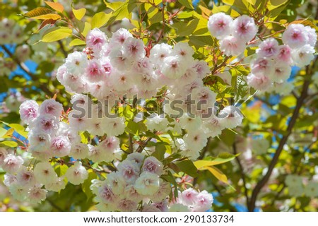 Spring blossom sakura flowers - stock photo