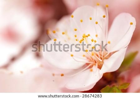 Spring Blossom.Selective Focus - stock photo