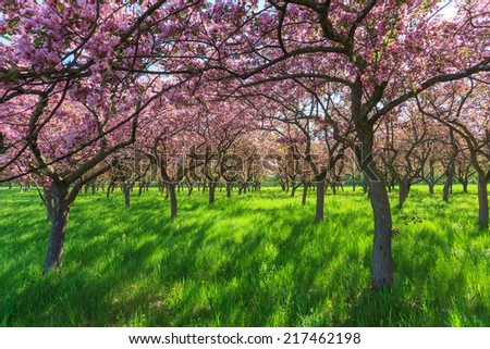 Spring Blossom Trees - stock photo