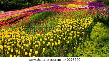 spring blossom yellow tulip field background