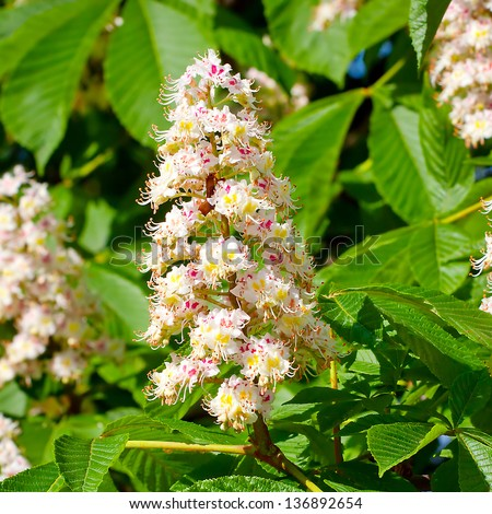 Spring blossoming chestnut tree flowers - stock photo