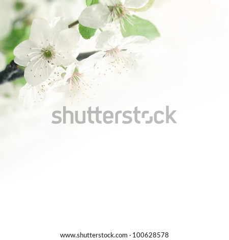 Spring blossoming flower on the white background. Space for text