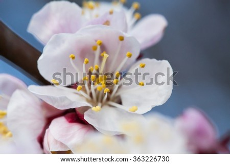 Spring blossoming of an apple-tree. Spring blossoming of cherry. The blossoming apple-tree. The blossoming cherry. The blossoming apricot. - stock photo