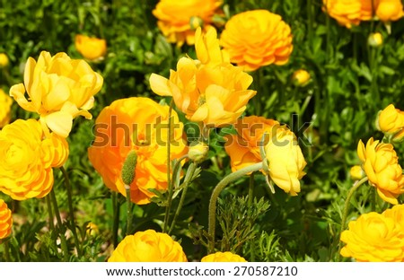 Spring blossoming of magnificent  yellow buttercups. Selective focus on the center of composition - stock photo