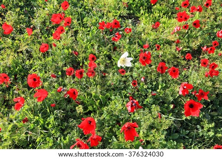 Spring blossoming of the red flowers (wild anemones)