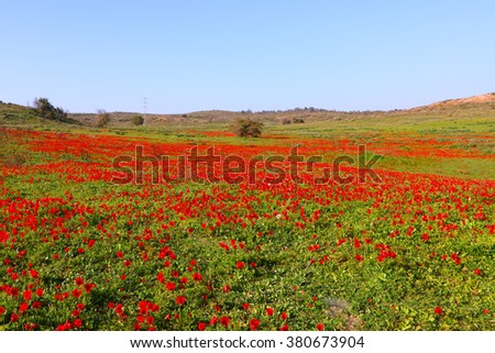 Spring blossoming of the red flowers (wild anemones). Spring in the south of Israel