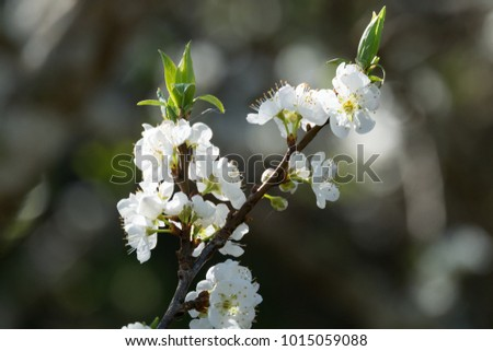 Spring Blossoming Sakura white flowers on tree with shadows and light