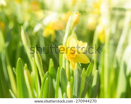 Spring blossoming yellow daffodils narcissi flowers in bright sun rays. Toning effect and filtered stock photo with selective soft focus and shallow DOF. - stock photo