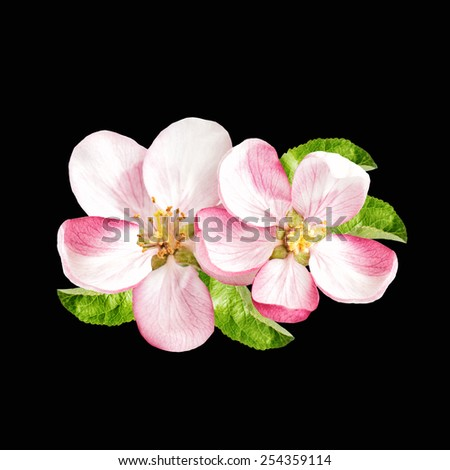 Spring blossoms. Apple tree flowers isolated on black background - stock photo