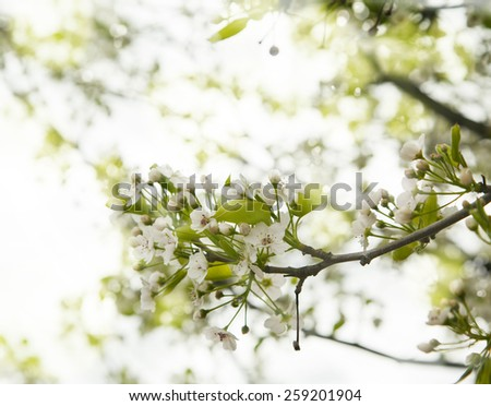 Spring Blossoms of Cherry, nature background - stock photo