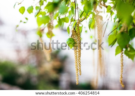 Spring blossoms tree birch with young green leaves. Spring blossoms tree birch with young green leaves - stock photo