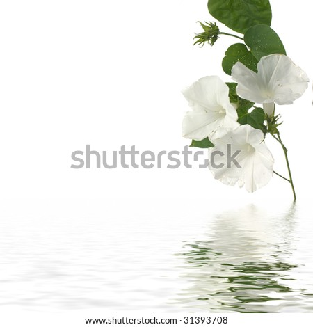 Spring blossoms white flower  with reflection