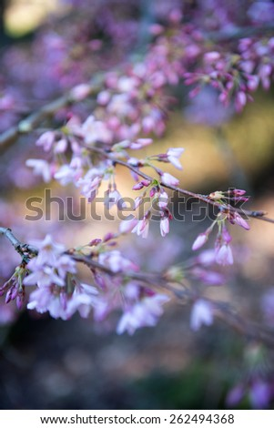 Spring Blossoms with Bokeh