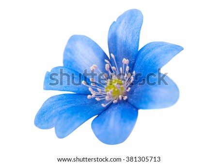 spring blue flower isolated on white background
