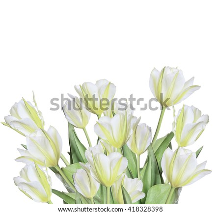 Spring bouquet of white and yellow tulips in a high key isolated on white background - beautiful floral background with copyspace for text - stock photo