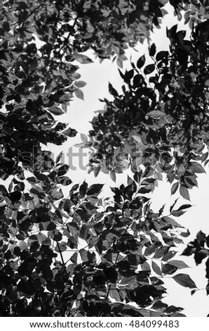 Spring branch Fresh green leaves.Green background with leaves against the sky Image black and white for design picture in the frame horizontally
