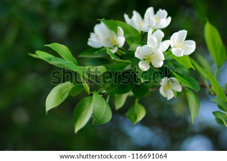 Spring branch of the apple tree. White flowers on a branch. - stock photo