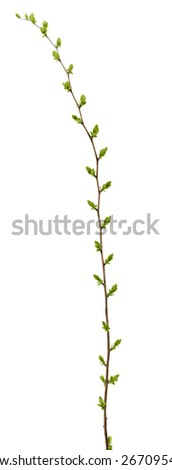 Spring branch of Tree, bud on a tree branch isolated on a white background. - stock photo
