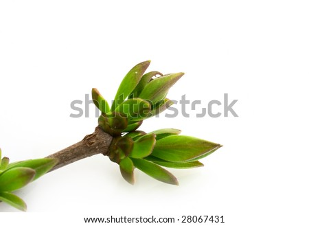 Spring branch with buds