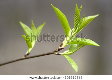 spring branch with fresh green leaves