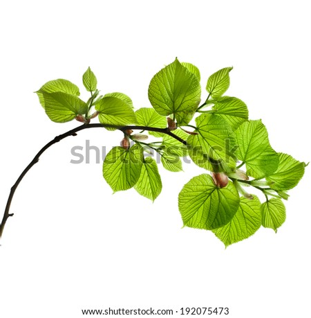 spring branch with fresh green leaves  isolated on white background