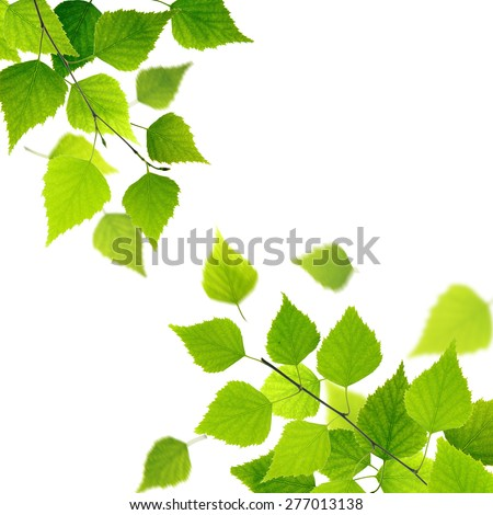 Spring branch with fresh green leaves on white background. - stock photo