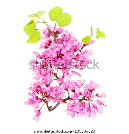 spring branch with purple flowers and green leaves isolated on white background