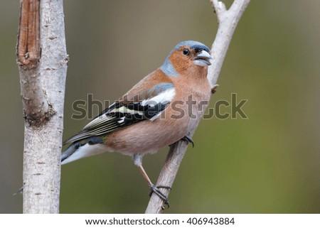 Spring chaffinch bird sitting on a branch - stock photo