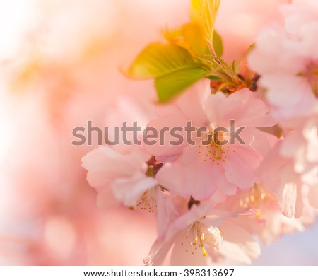 Spring Cherry blossoms, close - up.