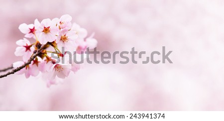 Spring cherry blossoms. horizontally wide title header dimension image.  - stock photo
