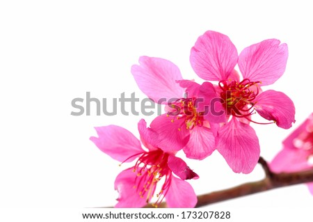 Spring Cherry blossoms in full bloom - stock photo