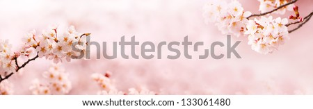Spring Cherry blossoms in full bloom. Title header dimension image. - stock photo
