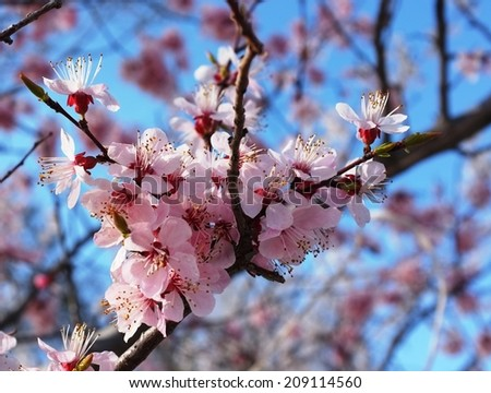 Spring cherry blossoms in Kyrgyzstan. - stock photo