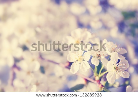 Spring cherry blossoms on a sunny day - stock photo