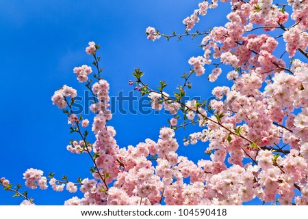 Spring cherry blossoms (pink) and blue background - stock photo
