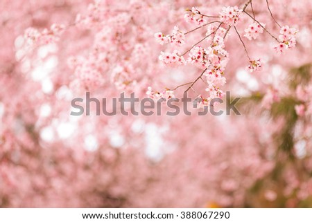 Spring Cherry blossoms, pink flowers background - stock photo