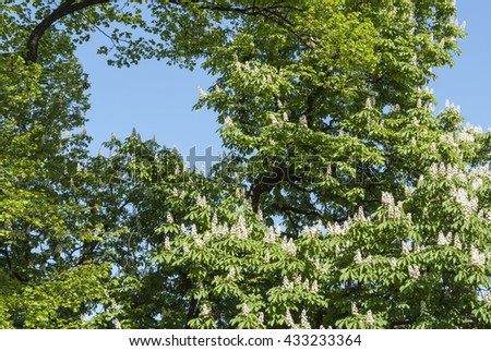 Spring. Chestnuts are in bloom - stock photo